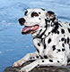 A Dalmatian photographed on the shore of the Androscoggin River in Brunswick.